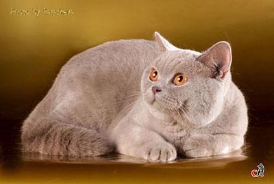 Британские коты окрасы лиловый
