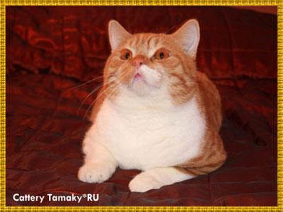 CARDINAL TAMAKYRU британец рыжий с белым