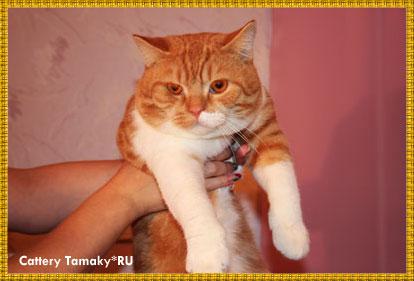 кот CARDINAL TAMAKYRU порода британская короткошерстная, окрас красный рисованный с белым. На фото 11 мес.