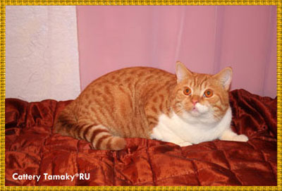 кот бритнской породы красный биколор тэбби CARDINAL TAMAKYRU