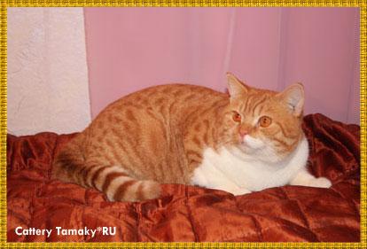 бринский кот CARDINAL TAMAKYRU красный биколор рисунчатый