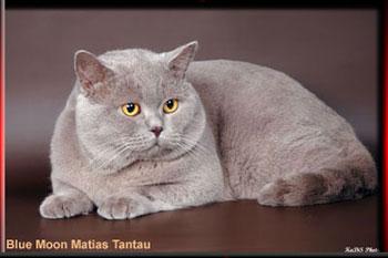 Британский кот с лиловым окрасом