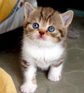 шоколадная пятнистая кошка британская короткошерстная