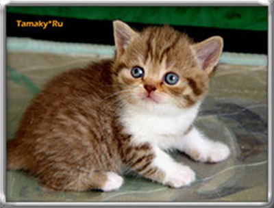 британская кошка окраса шоколадная пятнистая табби биколор