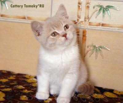 короткошерстная кошка британка лиловая с белым
