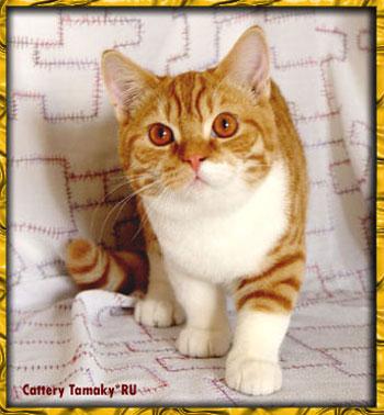 короткошерстный кот CARDINAL TAMAKYRU красно белый британской породы кошек