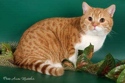 британский красный короткошерстный кот CARDINAL TamakyRU.