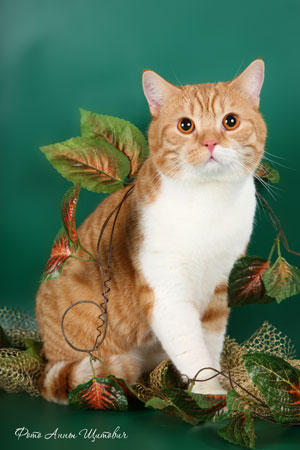 Британский кот окраса красный биколор рисунчатый фото