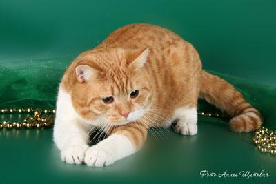 Кот британской породы окраса красный биколор пятно. CARDINAL TamakyRU.На фото 1,2 года.