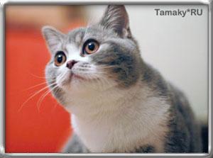 британский кот DENIRO TAMAKYRU голубой тэбби биколор на фотографии 6 мес.