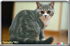 короткошерстный британец кот DENIRO TAMAKYRU голубой с белым