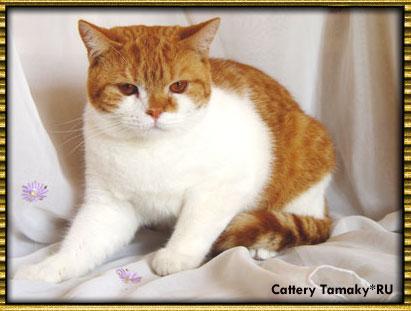 британский кот CODDY TAMAKYRU красный биколор с рисунком