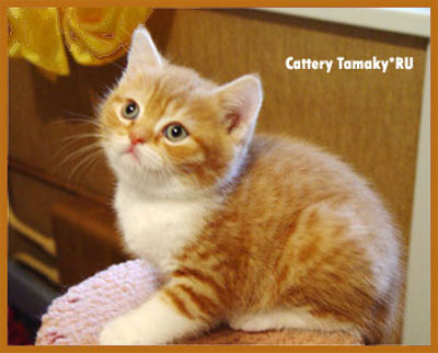 короткошерстный кот CARDINAL TAMAKYRU красно белый британская порода