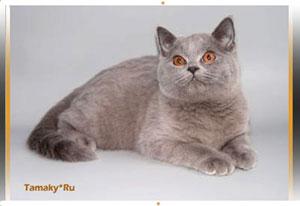 Британскя кошка лилового окраса