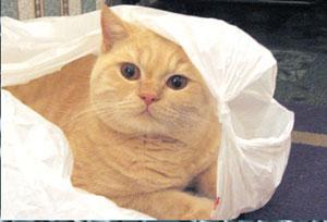 Коты с персиковым окрасом порода