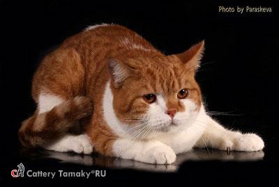 Британский кот красный биколор пятно CODDY TamakyRU 1,2 года