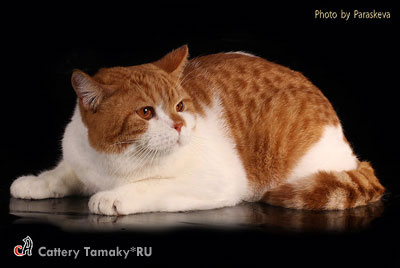 Фото британского кота CODDY TAMAKYRU На фото 1,2 года.
