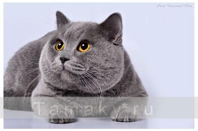 котов голубые британцы фото