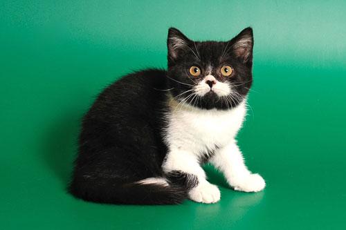 Шотландские коты черно белые