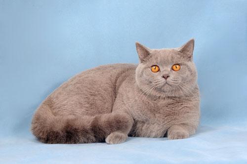 Кот британец лиловый фото